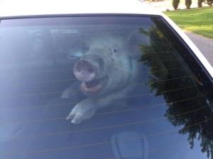 Escaped pig